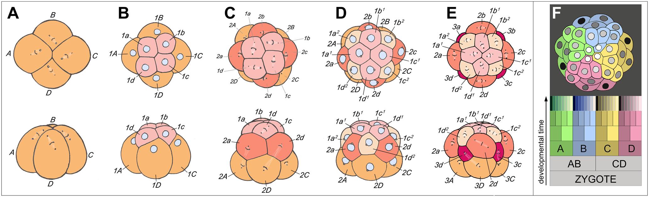 Developmental Biology (Stanford Encyclopedia of Philosophy)
